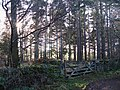 Sunlight through the pines - geograph.org.uk - 1094054.jpg