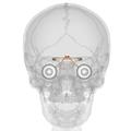 Suprachiasmatic nucleus - Anterior view.png