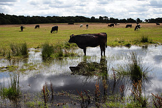Sutton Park, West Midlands - Cattle grazing wartime fields, 2007