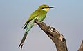 Swallow-tailed bee-eater, Merops hirundineus, at Kgalagadi Transfrontier Park, Northern Cape, South Africa (33724174323).jpg
