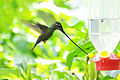 Sword-billed Hummingbird (5181677092).jpg