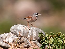 Sylvia conspicillata -Gran Canaria, Canary Islands, Spain-8 (1).jpg