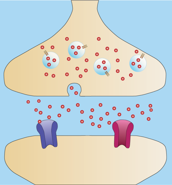 File:Synapse-Neurotransmitter Release.png