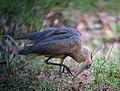 Syrigma sibilatrix Garza silbadora Whistling Heron (16700165648).jpg