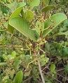 Syzygium caryophyllatum 08.JPG