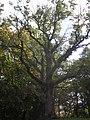 Tülivere tamm, the Oak of Tülivere - panoramio.jpg