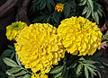 Tagetes erecta, Burdwan, West Bengal, India 30 01 2013.jpg