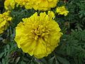 Tagetes patula 'Bonanza Yellow'2.jpg