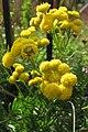 Tanacetum vulgare, 2020-10-04, Beechview, 03.jpg