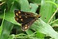 Taractrocera ceramas – Tawny-spotted Grass Dart - Tamil Grass Dart. 02.jpg