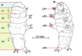 Tardigrada body parts.png