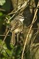 Tawny-flanked Prinia - South Africa S4E8353 (17320287411).jpg