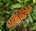 Tawny Coster (Acraea terpsicore) in Narshapur, AP W IMG 0810.jpg
