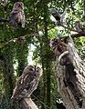 Tawny Owl from the Crossley ID Guide Britain and Ireland.jpg