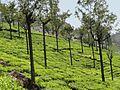 Tea Plantations in Ooty.jpg