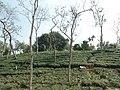 Tea gardens Srimangal Sreemangal Upazila Moulvibazar Maulvibazar Moulavibazar Sylhet 04.jpg