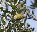 Tennessee Warbler (Oreothlypis peregrina) (3203467527).jpg