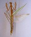 Tenodera fasciata TPopp.jpg