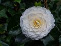 Tere schoonheid van de Camellia × williamsii 'Jury's Yellow' bloem. Locatie, Tuinreservaat Jonker vallei 02.jpg