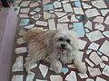 Terrier-1-xavier cottage-yercaud-salem-India.JPG