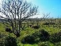 Texel - Bollekamer - Wild Cows - View SW.jpg