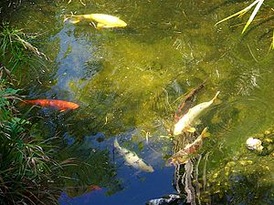 Koi fish in the pond at the Gibraltar Botanic ...