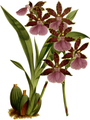 The Orchid Album-02-0009-0050-Zygopetalum clayii-crop.png