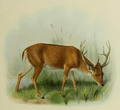 The deer of all lands (1898) Swamp deer.png