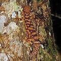 Thecadactylus rapicauda BSLL.jpg