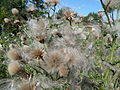 Thistledown of Field Thistle (Cirsium arvense).JPG