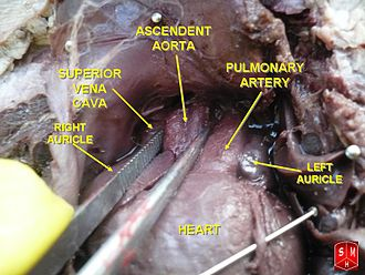 Ascending aorta - Image: Thoracic cavity of foetus great vessels