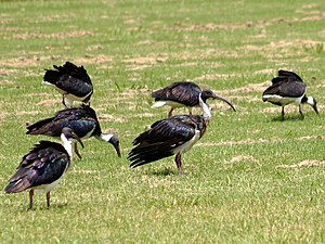Broad Sound (Queensland) - Broad Sound is a globally important site for the straw-necked ibis