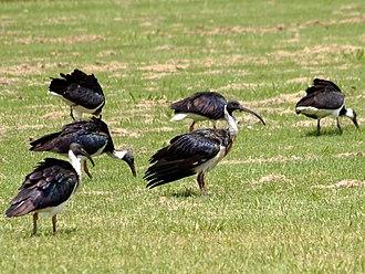 Straw-necked ibis - Straw-necked ibis flock