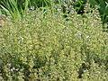 Thymus vulgaris fragrantissimus0.jpg