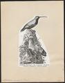 Tichodroma muraria - 1809-1845 - Print - Iconographia Zoologica - Special Collections University of Amsterdam - UBA01 IZ19200379.tif