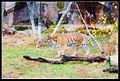 Tiger in Zoo.jpg