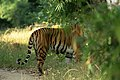Tiger looking through the foliage.jpg