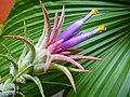 Tilandsia Ionantha flower.jpg