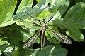 Tipula.luna.female.jpg