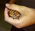 Toad in a Boy's Hand.jpg