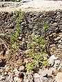 Torilis nodosa sl7.jpg