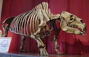 Skelett von Toxodon im Bernardino Rivadavia Natural Sciences Museum