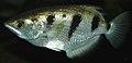Toxotes jaculatrix (banded archerfish) 3 (15099317284).jpg