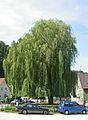 Trauerweide Salix x sepulcralis.jpg