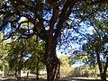 Tree11123334456777899000 - panoramio.jpg