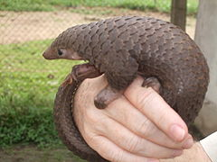 Tree Pangolin.JPG