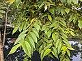 Trema orientalis 13.jpg