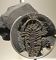 Triarthrus eatoni, Late Ordovician, Frankfort Shale, Rome, Herkimer County, New York, USA - Houston Museum of Natural Science - DSC01574.JPG