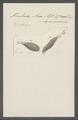 Trichoda anas - - Print - Iconographia Zoologica - Special Collections University of Amsterdam - UBAINV0274 113 15 0044.tif