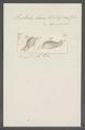 Trichoda clava - - Print - Iconographia Zoologica - Special Collections University of Amsterdam - UBAINV0274 113 15 0057.tif